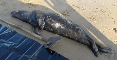 RIP Grijze zeehond Oscar, strand van Wenduine, 12 augustus 2021 (Beeld: Brandweer De Haan)