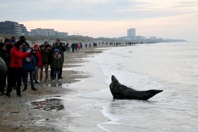 Many spectators in front of an adult grey seal (Nieuwpoort, 29 December 2019) © Steven Mertens