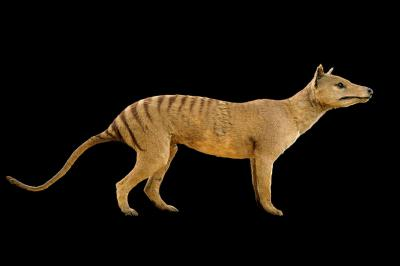 Foto van de Tasmaanse tijger of buidelwolf