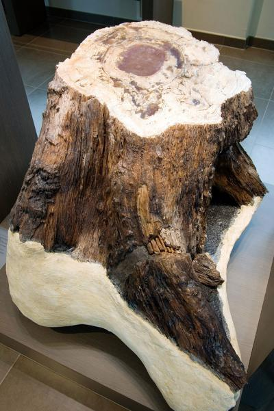Photo du tronc fossile dans la salle