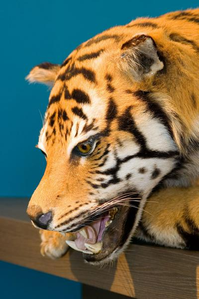 Photo du tigre de Sibérie exposé dans la salle '250 ans des Sciences naturelles'
