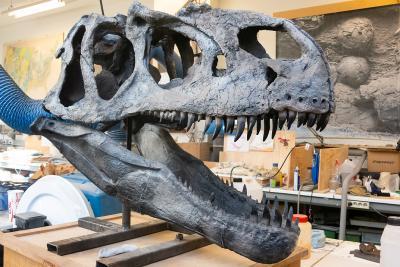 crâne d'Allosaurus dans le labo de paléontologie (photo : Thierry Hubin, IRSNB)