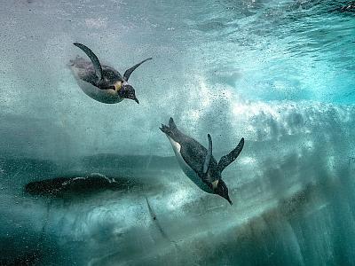 Manchots empereurs adultes en plongée (photo : Laurent Ballesta)
