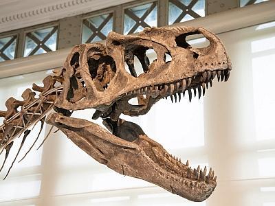 Crâne de l'allosaure Arkhane (photo : Thierry Hubin / IRSNB)