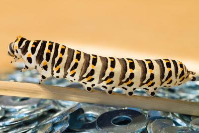 Sommige babydieren zijn kleine versietjes van de ouders; andere, zoals deze rups, ondergaan nog een hele metamorfose …