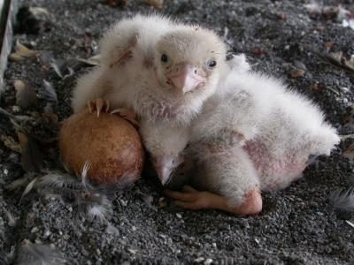 Chez les faucons pèlerin, la femelle pond généralement quatre œufs. Les trois premiers poussins éclosent après 32 jours d'incubation, le quatrième 48h plus tard. (photo : IRSNB)
