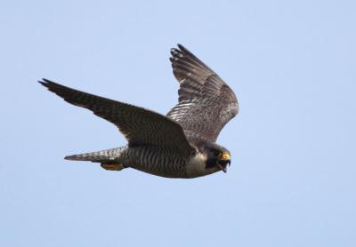 Female peregrine falcon, in the air