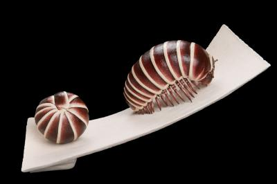 Magnified model of the pill millipede Glomeris marginata, a myriapod