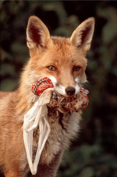 Dans la ville, le renard trouve de la nourriture toute l'année, dans nos poubelles notamment !