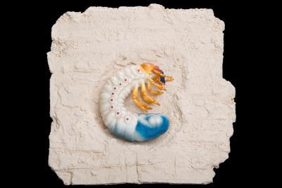 Vergrößertes Modell einer Maikäferlarve, Melolontha melolontha