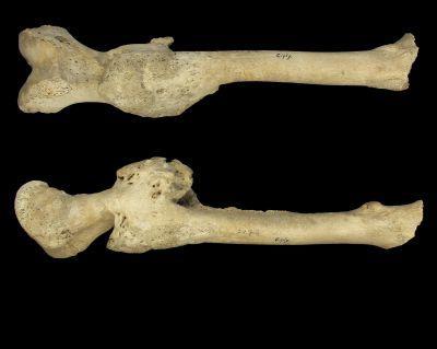 Gebroken dijbeen uit de collectie individuen uit de vroege middeleeuwen. Ze werden gevonden op de begraafplaats van Ciply (België)