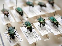 Belgian beetles in the Derenne collection