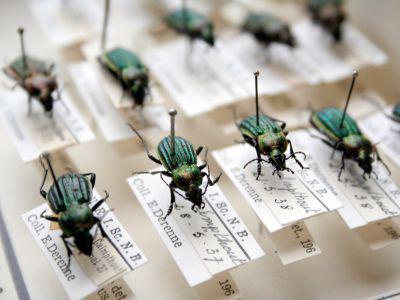 Kevers op een prikker in de insectencollectie van het KBIN. (© KBIN, Thierry Hubin)
