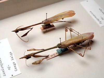 Bidsprinkhanen op een prikker in de insectencollectie