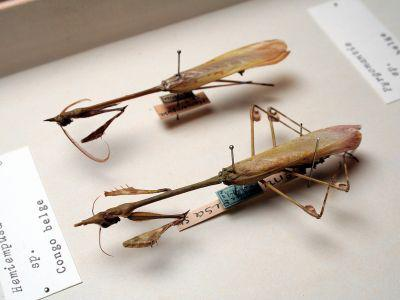 Bidsprinkhanen (Mantodea) in de entomologie-collectie