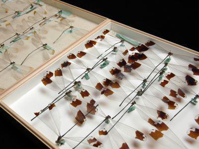 Libellen und Wasserjungfern (Odonata) in der De Selys Longchamps-Sammlung