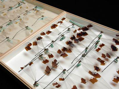 Damselflies and dragonflies (Odonata) in the collection of De Selys Longchamps (© RBINS, Thierry Hubin)