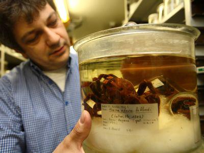 One of the scientists showing a Goliath birdeater, a spider species from South America, conserved in alcohol