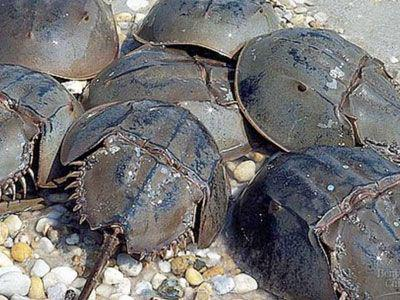 During the breeding season, horse shoe crabs migrate en masse to shallow waters to mate