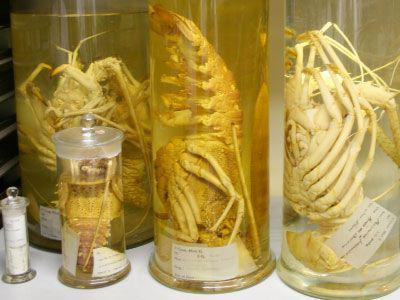 On alcohol preserved lobsters