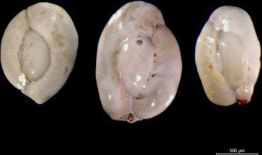 Foraminifera from the Belgian part of the North Sea.