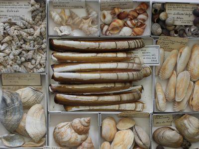 Belgische schelpensoorten uit de Dautzenberg-collectie