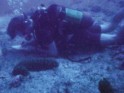 Yves Samyn neemt al duikend nota's over een zeekomkommer.