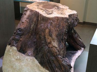 Versteende boomstronk van de soort Glyptostroboxylon, uit Hoegaarden (België), in de zaal 250 Jaar Natuurwetenschappen