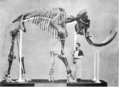 Das 1860 entdeckte Mammut von Lierre wird von Präparator Louis F. De Pauw zusammengesetzt.