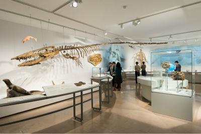 Squellette complet de Hainosaurus dans notre Salle des Mosasaures