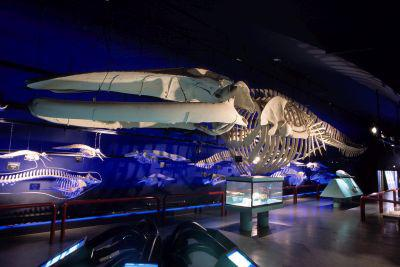 Whales collection shown in the Museum from 2009 to 2014.