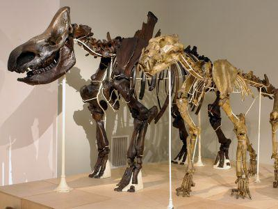 Woolly rhinoceros (Coelodonta antiquitatis, composite specimen based on bones from Blaton, Lier, and Grands-Malades) and cave lion (Panthera leospelaea, Goyet specimen)