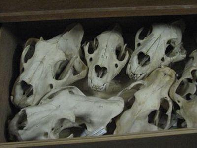 Crânes dans les collections