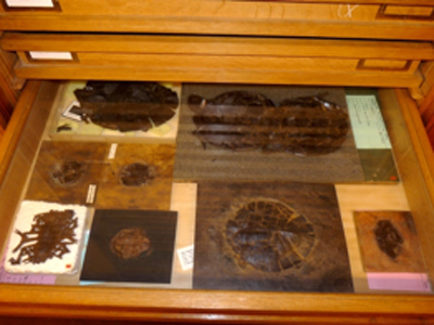 Tortues de la collection Messel