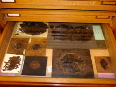 Schildpadden uit de Messel-collectie