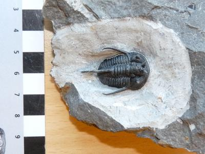 Trilobite in the palaeontology collection