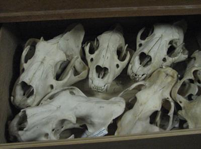 Schedels in een lade van de collectie Vertebraten