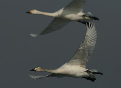 Bewick's Swans (Juvenile bird in the foreground). Image: RBINS/D. Vangeluwe