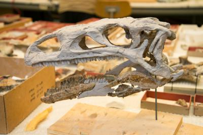 Ben's skull had to be completed with a molding of another specimen. (photo: Thierry Hubin / RBINS)