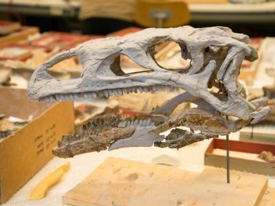 Le crâne de Ben a dû être complété par une partie moulée sur un autre spécimen. (photo : Thierry Hubin, IRSNB)