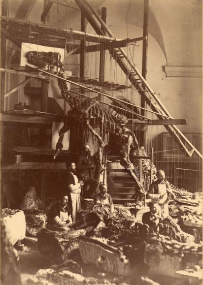 Eerste montage van de iguanodons van Bernissart met een stelling in de Sint-Joriskapel