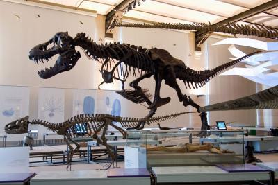 Tyrannosaurus rex dans la Galerie des Dinosaures