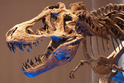 Close up du T. rex dans la Galerie des Dinosaures