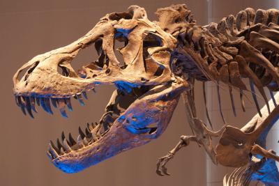 Close up van de Tyrannosaurus rex in de Galerij van de Dinosauriërs (foto: Thierry Hubin, KBIN)