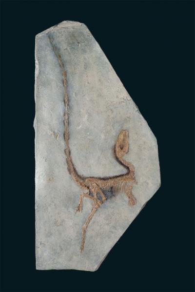 'Sinosauropteryx prima' (afgietsel)