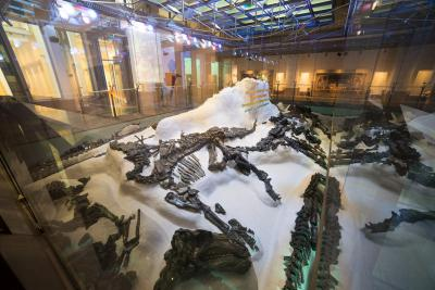 partial skeletons of Iguanodons exhibited the way they were laying in the mine