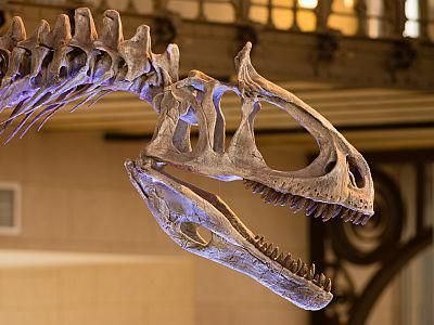 Skull of Cryolophosaurus in the Dinoasaur Gallery