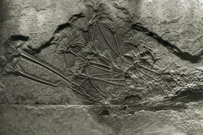 Fossilen Seelilien
