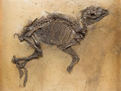 Fossil of Eurohippus messelensis, a primitive horse, found in Messel