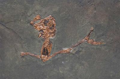 Eopelobates wagneri, een fossiele kikker uit Messel